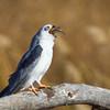 Kite-White-tailed--1993