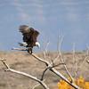 Eagle-Bald-2584