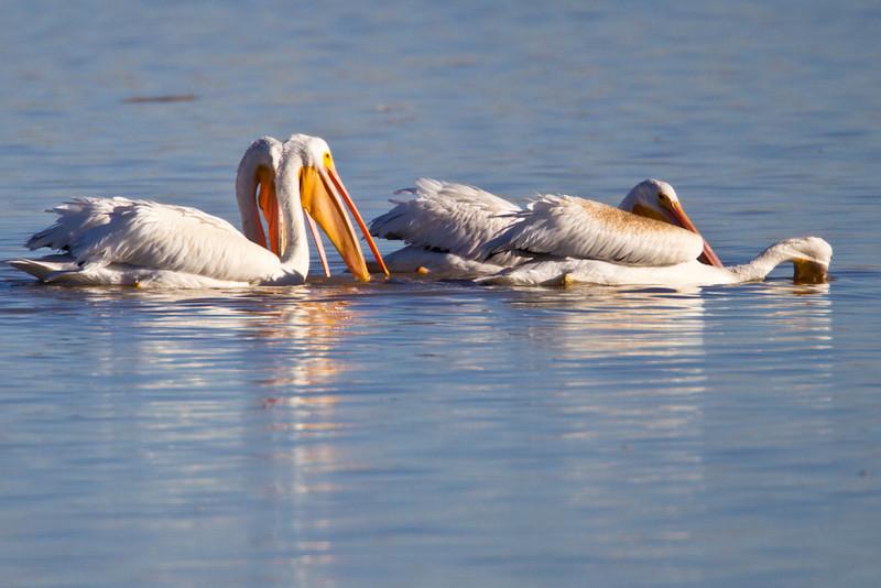 Pelican-White-NM-0757