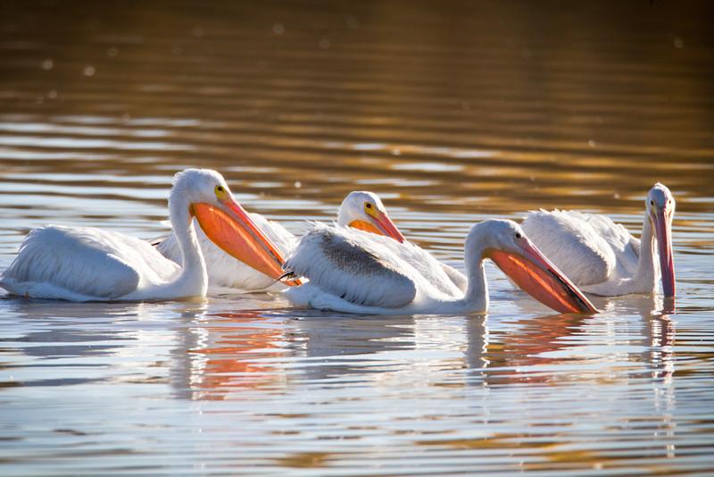Pelican-White-NM-0866