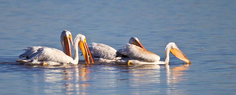 Pelican-White-NM-0768