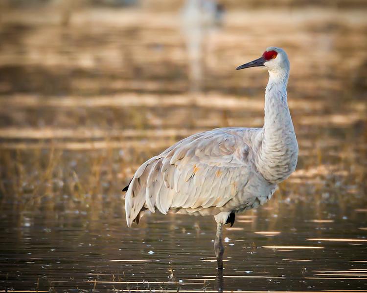 Crane-Sandhill-4166-