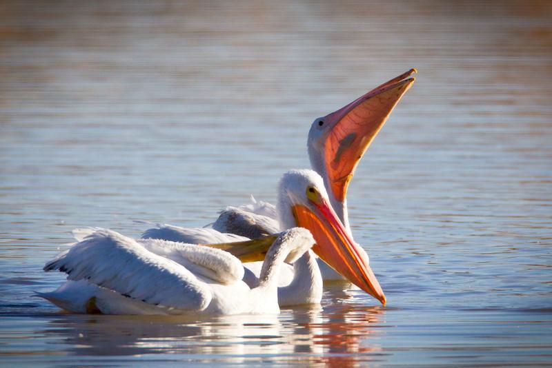 Pelican-White-NM-0834