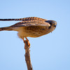 Kestrel-NM-0496