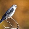 Kite-White-tailed-1775