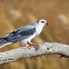 Kite-White-tailed--2026