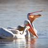 Pelican-White-NM-0831