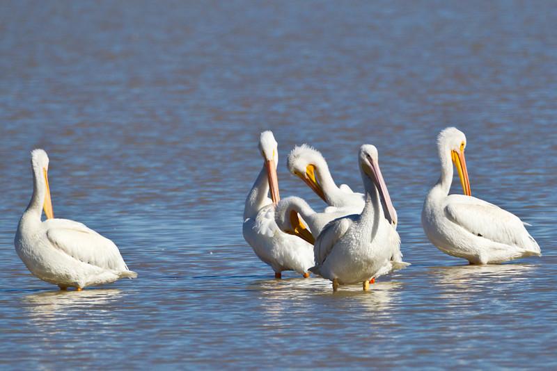 Pelican-White-NM-0249