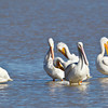Pelican-White-NM-0249