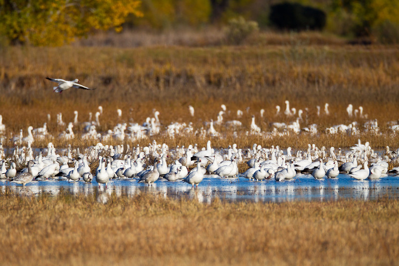 Geese-Snow-NM-9713