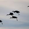 Crane-Sandhill-NM-9989