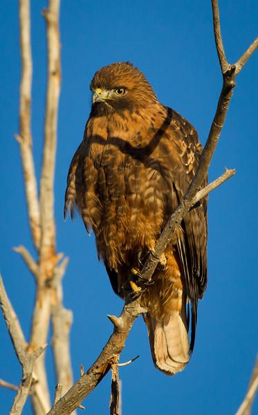 Hawk-redtail-4249