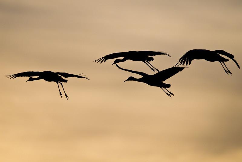 Crane-Sandhill-NM-0001