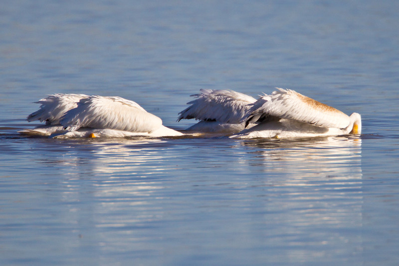 Pelican-White-NM-0766