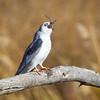 Kite-White-tailed--1986
