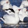Geese-Snow-4697