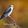 Kite-White-tailed-1778