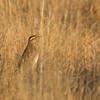 Meadowlark-Western-4239