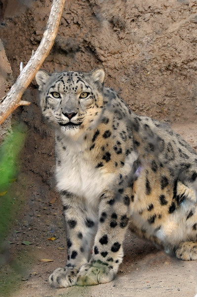 Male Snow Leopard.  I trekked through Nepal for over a month and only saw the foot prints of this magnificent cat.  Seeing the two cubs and their parents at the Rio Grande Zoo was a real treat for me.