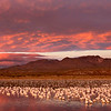Bosque Del Apache,  Geese and Cranes are getting ready to take off for their early morning flight at sunrise.