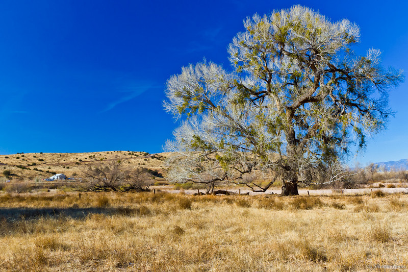 Majestic tree, New Mexico