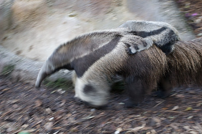 Anteater and Baby