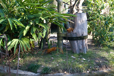 Golden Tamarins