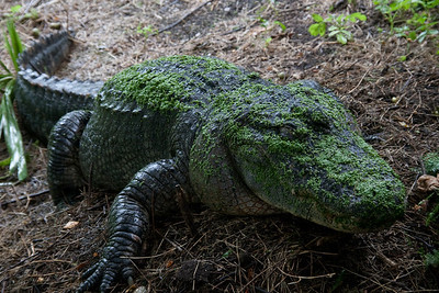 Nesting Alligator