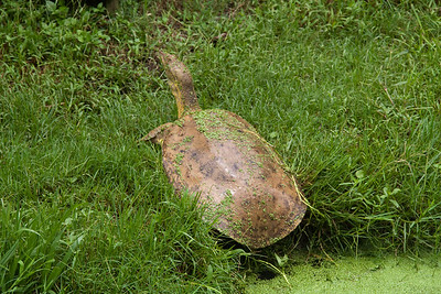 Alligator Turtle