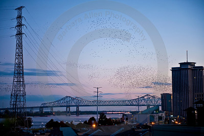Looking at the Huey P. Long Bridge over the Mississippi River from high atop The beautiful Omni Hotel in teh French Quarter.  The swarm of birds is bats.