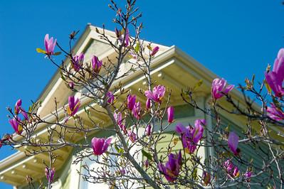 Magnolias in February