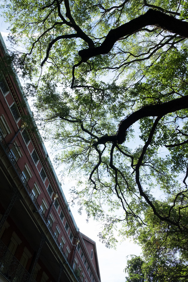 Old trees with branches spread towards the balconied old buildings