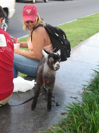 Italian pygmy goat on Decatur