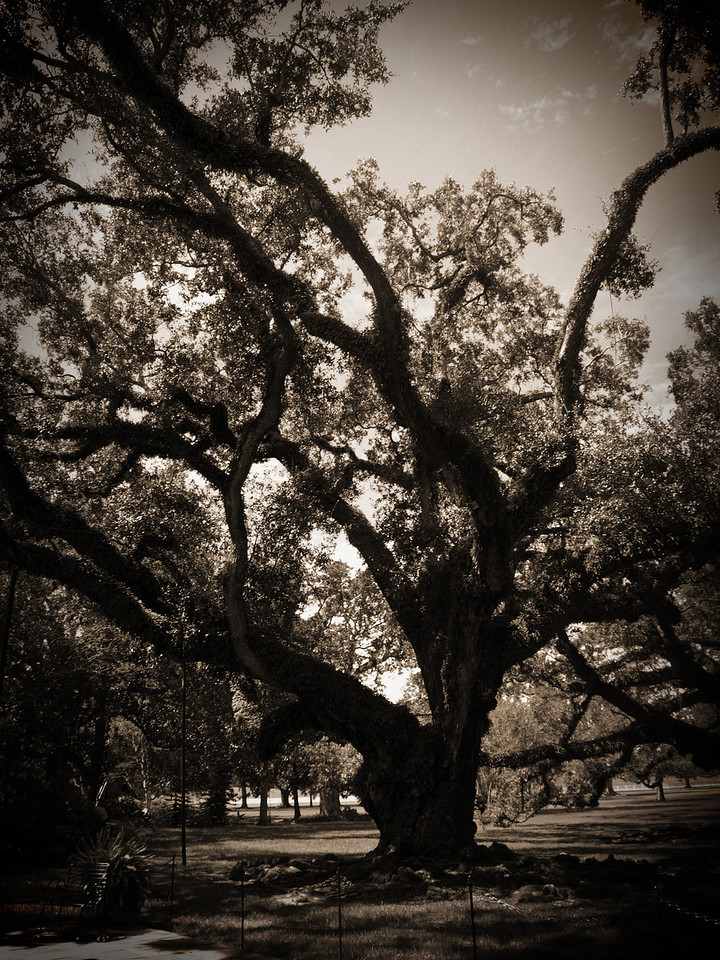 Old Oak Tree at Oak Alley Plantation in Vacherie, LA - Tree is approximately 300 years old.
