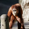 Louisiana, New Orleans, an orangutan at the Audubon Zoo