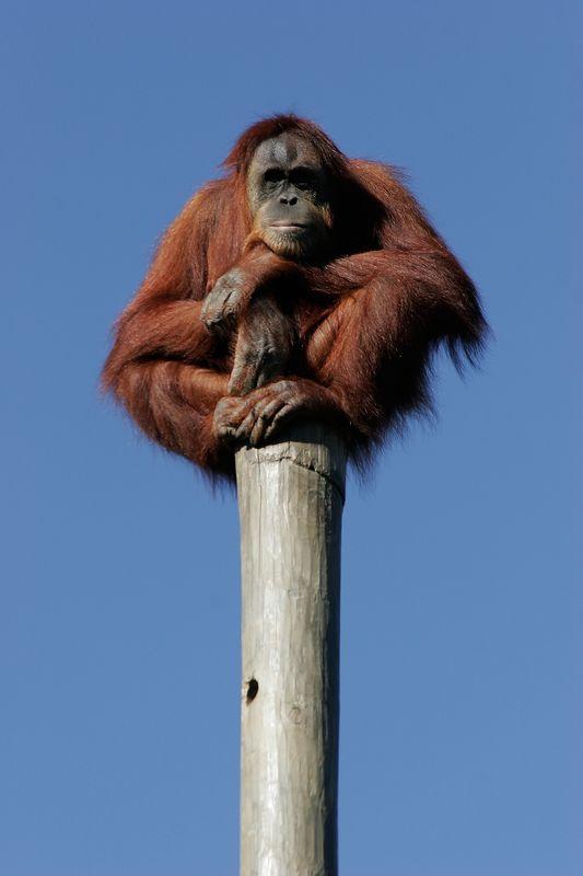 Louisiana, New Orleans, an orangutan at the Audubon Zoo