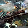 Louisiana, New Orleans, fish at the Audubon Aquarium of the Americas