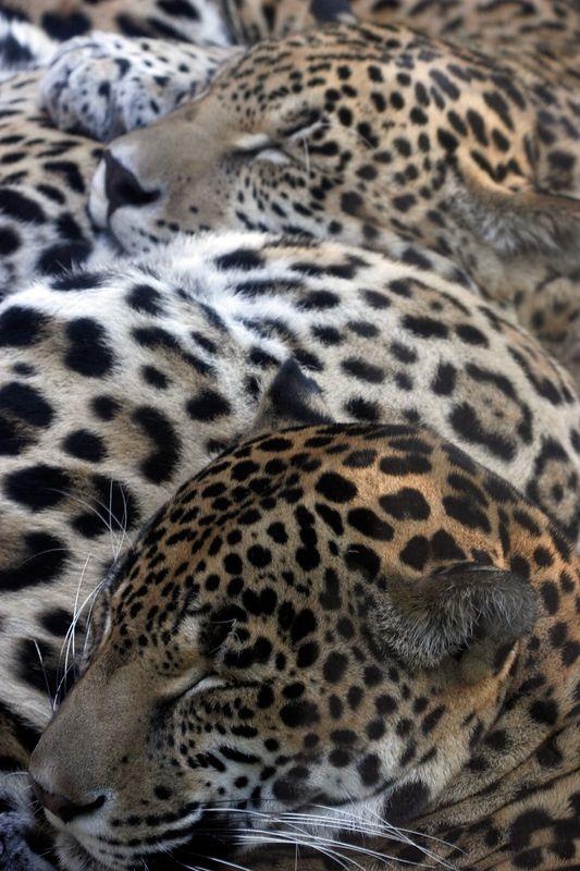 Louisiana, New Orleans, jaguars at the Audubon Zoo