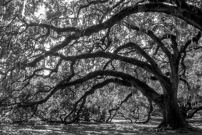 Oak Trees (8x12)