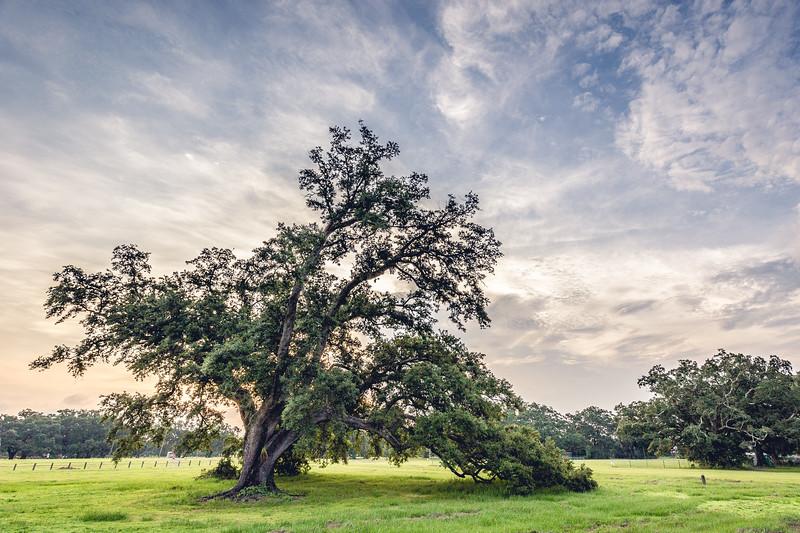 Oak Tree in New Orleans City Park