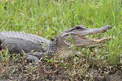 IMG_5267 Toothy alligator