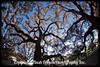 NOLA Oak Alley Tree 24-01 copy