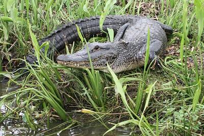 IMG_5228 - Alligator