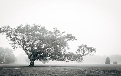 Oak Tree in City Park