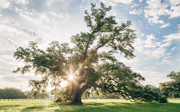 Morning sun shining through an old oak tree