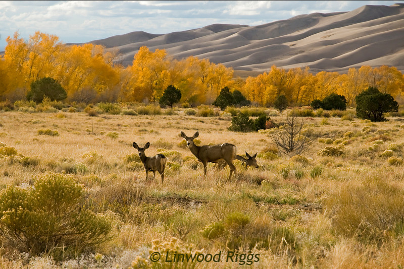 Mule deer in Great Sand Dunes NP, CO