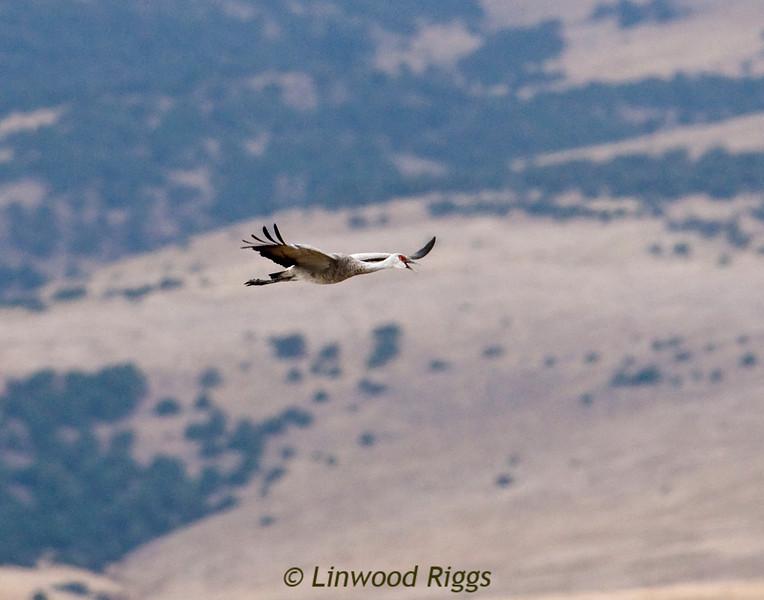 Sandhill Crane at Monte Vista NWR, CO