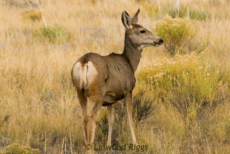 Mule deer - Great Sand Dunes NP, CO