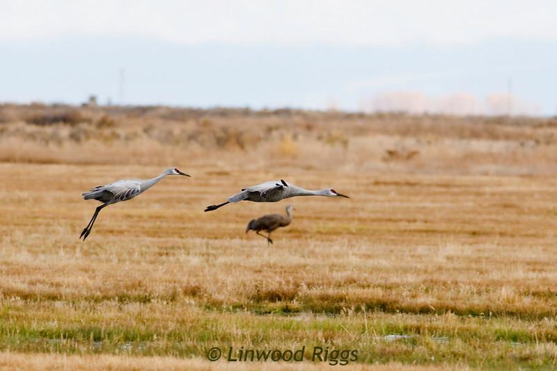 Sandhill Cranes at Monte Vista NWR, CO