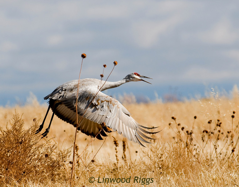Sandhill Crane at Monte Vista NWR, CO